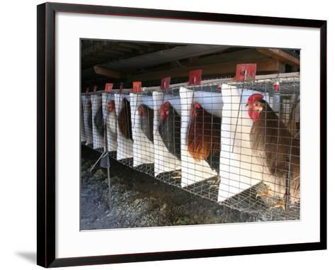 Chickens are Shown in Cages at Whiting Farms in Delta, Colorado, on Thursday, June 8, 2006-John Marshall-Framed Art Print