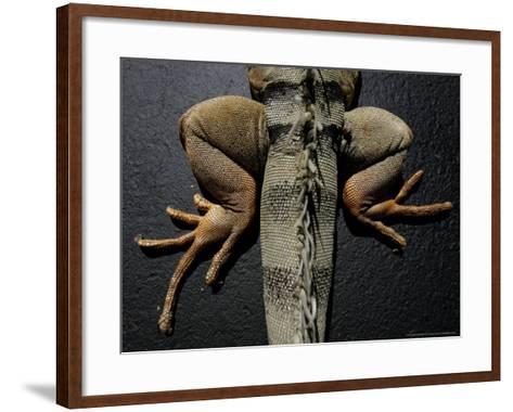 Shabango, an 8-Year-Old Iguana-Carolyn Kaster-Framed Art Print