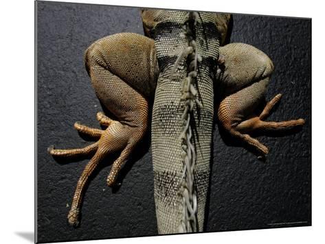 Shabango, an 8-Year-Old Iguana-Carolyn Kaster-Mounted Photographic Print