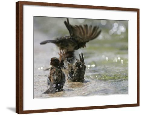 Sparrows Bathe in Puddles at the Moscow Red Square--Framed Art Print