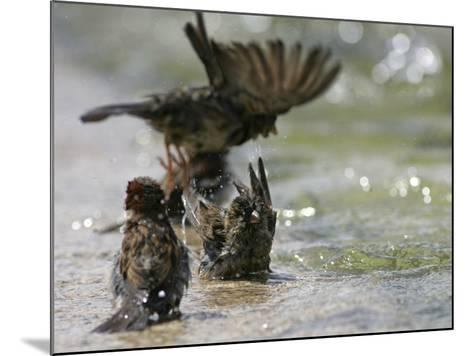 Sparrows Bathe in Puddles at the Moscow Red Square--Mounted Photographic Print