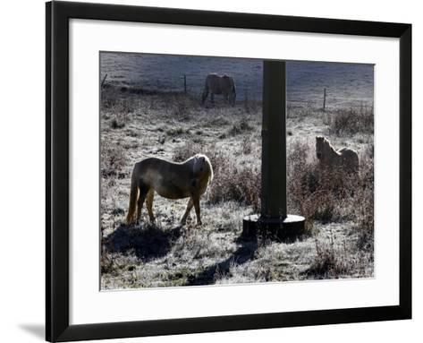 Pferde Im Winterfell Grasen Auf Einer Raureifueberzogenen Weide Am Titisee-Winfried Rothermel-Framed Art Print