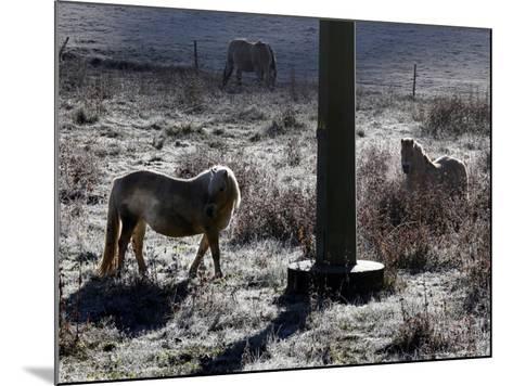 Pferde Im Winterfell Grasen Auf Einer Raureifueberzogenen Weide Am Titisee-Winfried Rothermel-Mounted Photographic Print