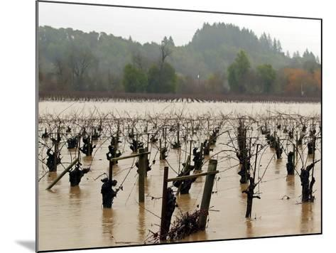 A Russian River Vineyard Remains Flooded Near Forestville, Calif.--Mounted Photographic Print
