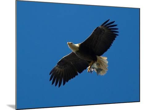 Bald Eagle Carries a Fish in its Talons over New York Citys Central Park--Mounted Photographic Print