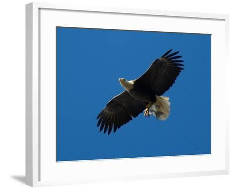 Bald Eagle Carries a Fish in its Talons over New York Citys Central Park--Framed Art Print