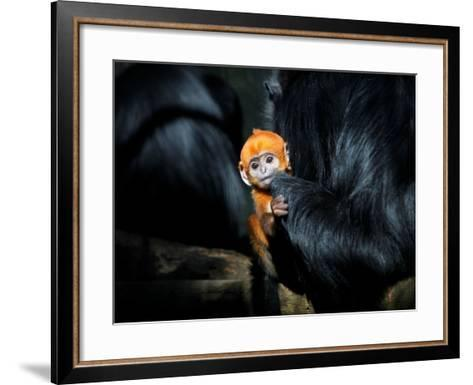 Male Francois' Leaf Monkey Relaxes with His Parents at the Zoological Gardens Zoorasia in Yokohama--Framed Art Print