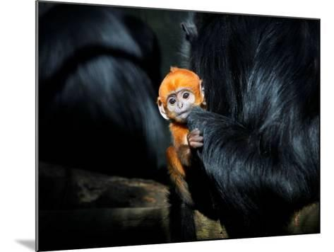 Male Francois' Leaf Monkey Relaxes with His Parents at the Zoological Gardens Zoorasia in Yokohama--Mounted Photographic Print