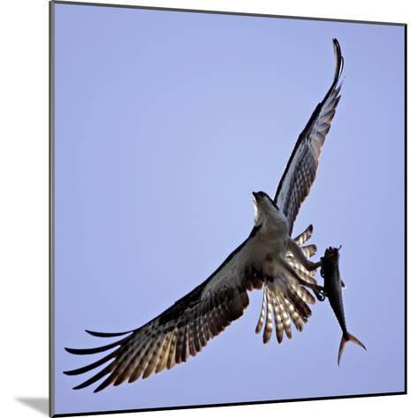 Osprey Carries Fish in Talons as it Flies over the Players Championship Golf Tournament in Florida--Mounted Photographic Print