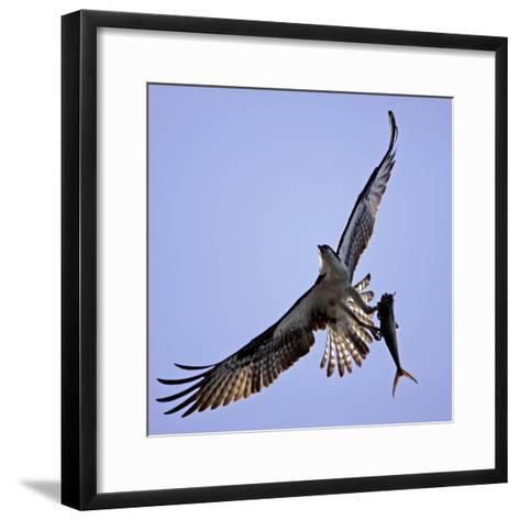 Osprey Carries Fish in Talons as it Flies over the Players Championship Golf Tournament in Florida--Framed Art Print