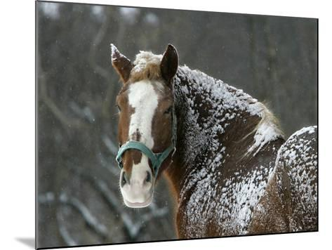 Workhorse Braves the Snow and Falling Temperatures at a Farm in Bainbridge Township, Ohio--Mounted Photographic Print