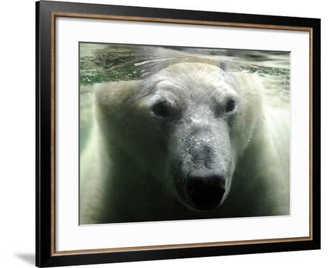 Polar Bear is Pictured under Water at the Zoo in Gelsenkirchen--Framed Art Print