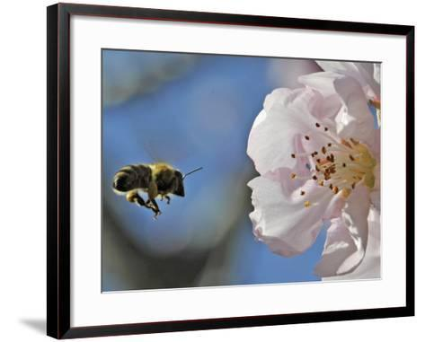 Bee Flies Towards the Blossom of an Almond Tree in a Park in Freiburg, Southern Germany--Framed Art Print