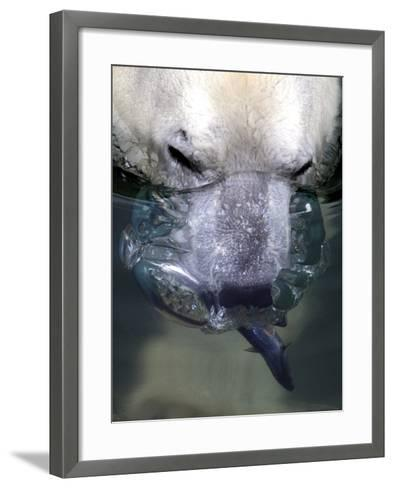 Budapest Zoo's 19 Year-Old Polar Bear (Ursus Maritimus) Catches Fish in Her Pool--Framed Art Print