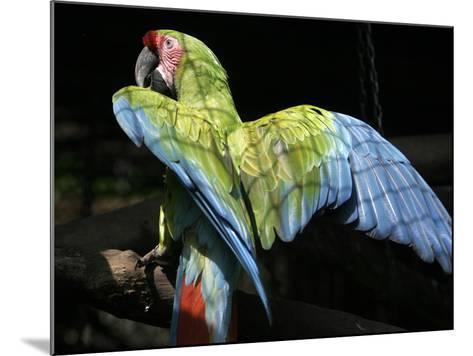 APTOPIX Costa Rica Endangered Macaws-Kent Gilbert-Mounted Photographic Print