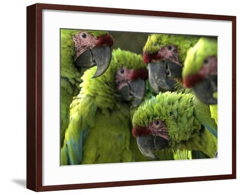 APTOPIX Costa Rica Endangered Macaws-Kent Gilbert-Framed Art Print