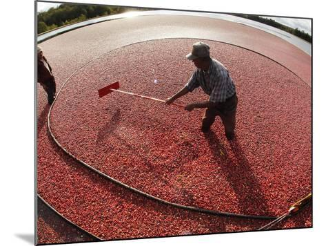 APTOPIX Cranberry Harvest-Charles Krupa-Mounted Photographic Print