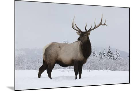 Elk--Mounted Photographic Print