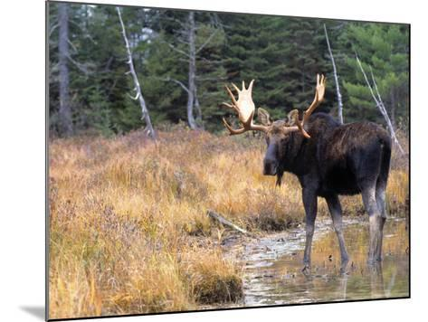 Moose--Mounted Photographic Print