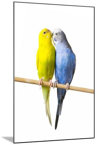 Parakeets--Mounted Photographic Print