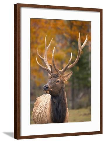Elk--Framed Art Print