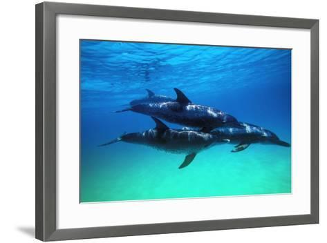 Dolphins--Framed Art Print