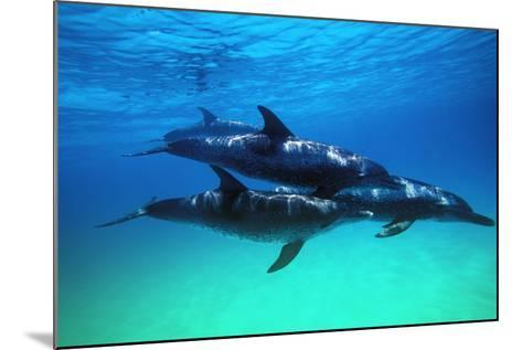 Dolphins--Mounted Photographic Print