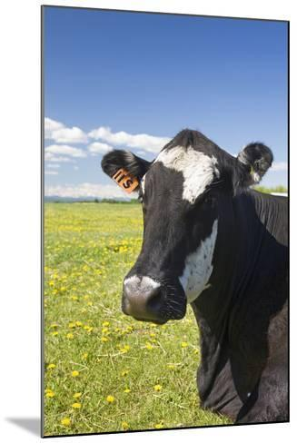 Cow--Mounted Photographic Print