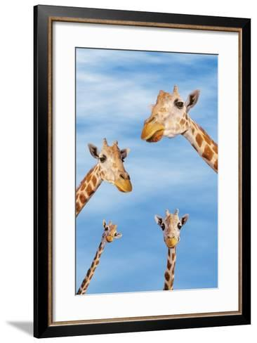 Giraffes--Framed Art Print