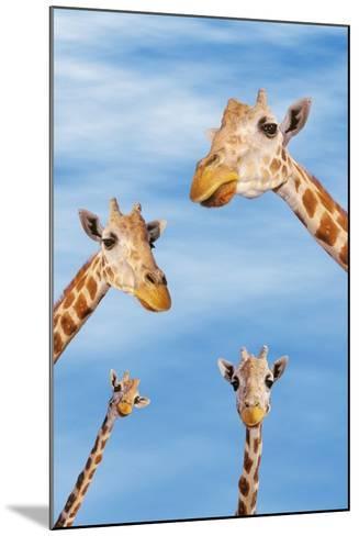 Giraffes--Mounted Photographic Print