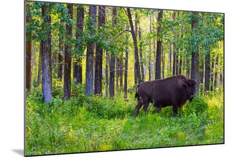 Bison--Mounted Photographic Print