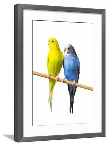 Parakeets--Framed Art Print