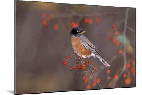 Robin--Mounted Photographic Print
