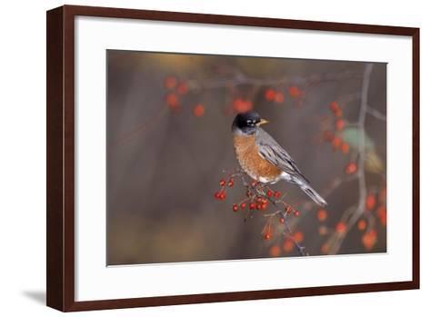 Robin--Framed Art Print