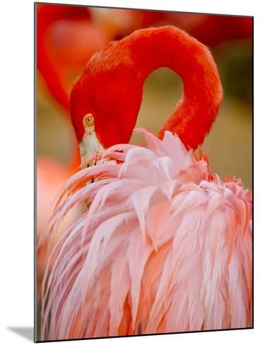 Flamingo 2-Dennis Goodman-Mounted Photographic Print