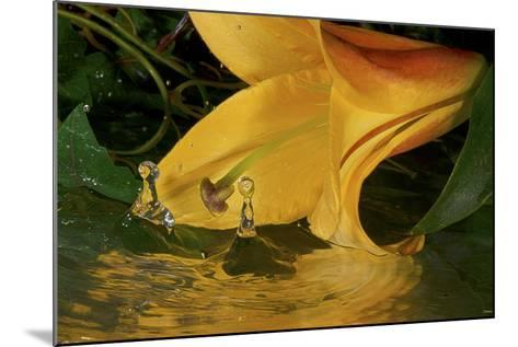 Yellow Lily-Gordon Semmens-Mounted Photographic Print