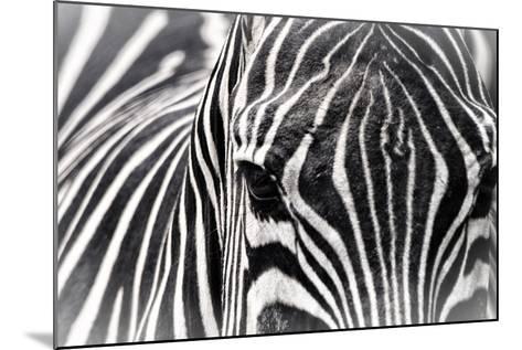 Zebra-Gordon Semmens-Mounted Photographic Print