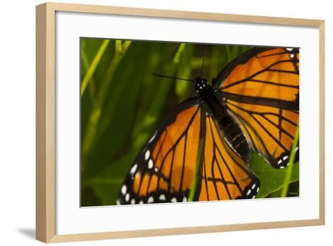 Monarch Butterfly-Gordon Semmens-Framed Art Print