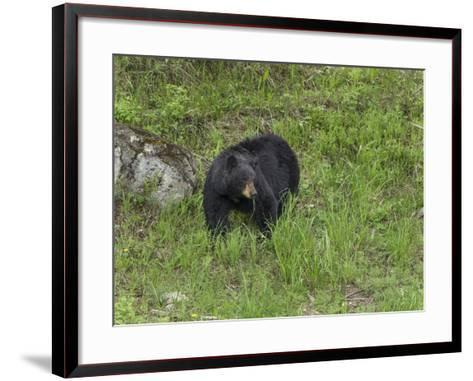 Black Bear (YNP)-Galloimages Online-Framed Art Print