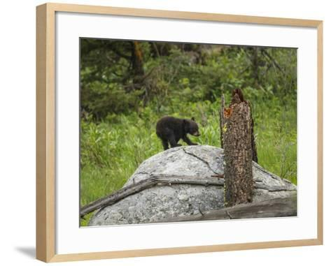 Bear Cub on Rock-Galloimages Online-Framed Art Print