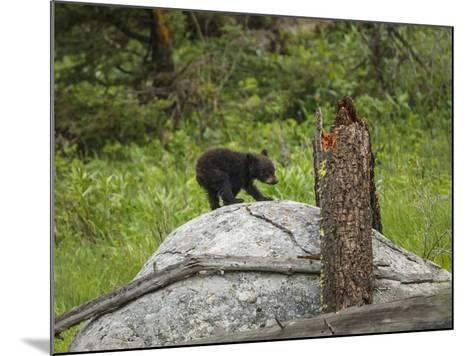 Bear Cub on Rock-Galloimages Online-Mounted Photographic Print