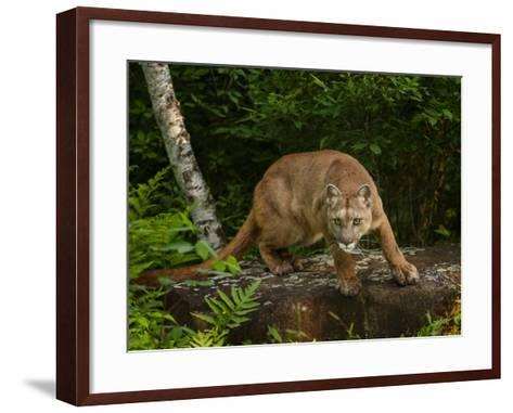 About to Pounce-Galloimages Online-Framed Art Print