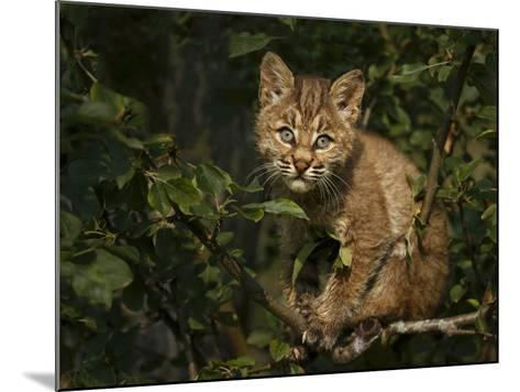 Bobcat Kitten on Branch-Galloimages Online-Mounted Photographic Print