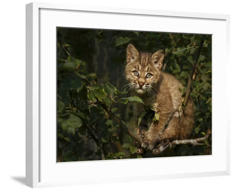 Bobcat Kitten on Branch-Galloimages Online-Framed Art Print