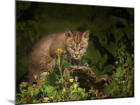 Bobcat Kitten Poses on Log-Galloimages Online-Mounted Photographic Print