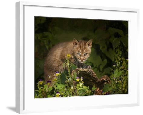 Bobcat Kitten Poses on Log-Galloimages Online-Framed Art Print