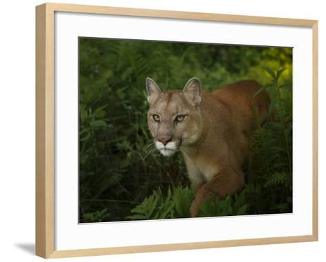 Mountain Lion on the Prowl-Galloimages Online-Framed Art Print