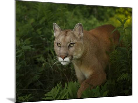 Mountain Lion on the Prowl-Galloimages Online-Mounted Photographic Print