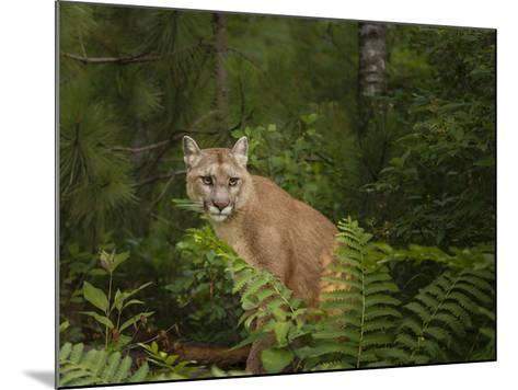Mountain Lion with Ferns-Galloimages Online-Mounted Photographic Print