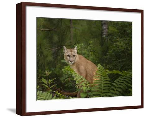 Mountain Lion with Ferns-Galloimages Online-Framed Art Print